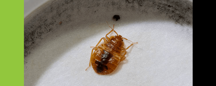 Bed Bug Control Randwick